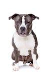 Staffordshire-bull terrier Stock Photo