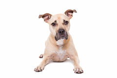 Staffordshire-bull terrier Stock Image