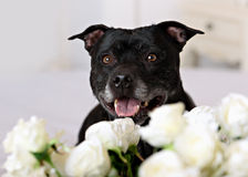 Staffordshire Bull Terrier in front of a white Stock Photo
