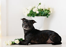 Staffordshire Bull Terrier in front of a white Royalty Free Stock Photos