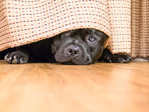 Staffordshire Bull Terrier hding under a curtain Royalty Free Stock Photo