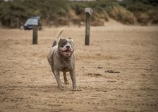 Staffordshire bull terrier hond die op het strand van Weston Super Mare lopen royalty-vrije stock foto's
