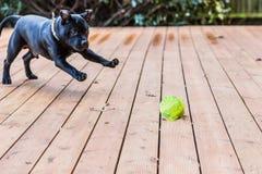 Staffordshire bull terrier hond het spelen met een bal royalty-vrije stock fotografie