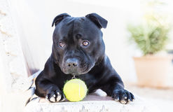 Staffordshire Bull terrier hond met bal leuk lokking stock afbeelding