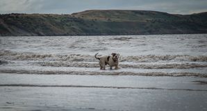 Staffordshire bull terrier hund i havet på den Weston Super stoen arkivbild