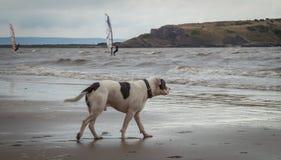 Staffordshire bull terrier hund i havet på den Weston Super stoen arkivbilder