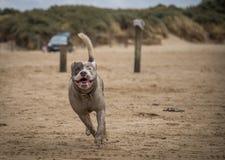 Staffordshire bull terrier hund som kör på stranden av Weston Super Mare arkivfoton