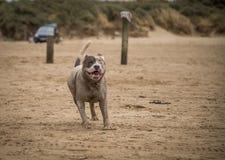 Staffordshire bull terrier hund som kör på stranden av Weston Super Mare royaltyfria foton