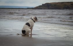 Staffordshire bull terrier hund som ser i havet på den Weston Super stoen royaltyfri fotografi