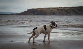 Staffordshire bull terrier hund som ser i havet på den Weston Super stoen royaltyfri bild