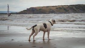 Staffordshire bull terrier hund som ser i havet på den Weston Super stoen arkivbilder