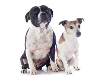 Staffordshire bull terrier and jack russel terrier Royalty Free Stock Images