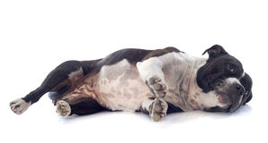 Staffordshire bull terrier laid down Stock Images