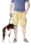 Staffordshire Bull Terrier on lead Royalty Free Stock Photography