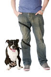 Staffordshire Bull Terrier on lead Royalty Free Stock Photo