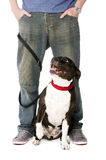 Staffordshire Bull Terrier on lead Royalty Free Stock Images