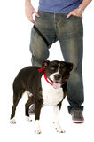 Staffordshire Bull Terrier on lead Stock Photography