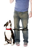 Staffordshire Bull Terrier on lead Royalty Free Stock Photos