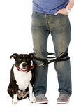 Staffordshire Bull Terrier on lead Stock Image