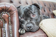 Staffordshire Bull Terrier  on a leather sofa Stock Photography