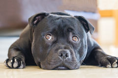 Staffordshire Bull Terrier lying down with eyes looking up Stock Photo