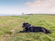 Staffordshire Bull Terrier lying down near to Reculver Towers, R. Staffordshire Bull Terrier dog lying down on the grass, resting during a dog walk, on the cliff Royalty Free Stock Image