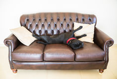 Staffordshire Bull Terrier lying on a sofa Royalty Free Stock Image