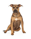 Staffordshire Bull Terrier Mix Breed Dog Sitting Stock Image