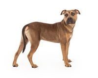 Staffordshire Bull Terrier Mix Breed Dog Standing Stock Image