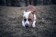 Staffordshire bull terrier no parque Foto de Stock Royalty Free