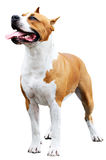 Staffordshire Bull Terrier over white Royalty Free Stock Photo