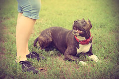 Staffordshire bull terrier with owner Royalty Free Stock Photos