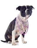Staffordshire bull terrier and pearl collar Royalty Free Stock Images