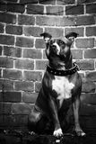 Staffordshire Bull Terrier. Photo of Staffordshire Bull Terrier. Statue Royalty Free Stock Photo