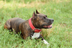 Staffordshire bull terrier portrait Royalty Free Stock Photos