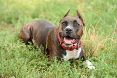 Staffordshire bull terrier portrait Stock Photo