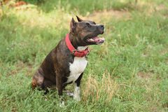 Staffordshire bull terrier portrait Stock Photos
