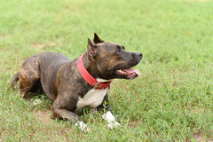 Staffordshire bull terrier portrait Stock Images