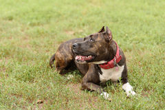 Staffordshire bull terrier portrait Royalty Free Stock Image