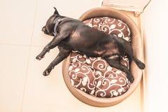 Staffordshire Bull terrier psi uśpiony w plastikowym łóżku z cush Obrazy Stock
