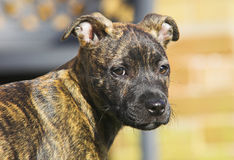 Staffordshire Bull Terrier Puppy. Playing in garden Stock Photo