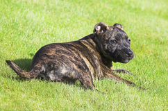 Staffordshire Bull Terrier Puppy. Sitting in the garden Royalty Free Stock Image