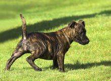 Staffordshire Bull Terrier Puppy Stock Image
