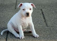 Staffordshire Bull Terrier Puppy. White Staffordshire Bull Terrier Puppy (about 3 months old) sitting on the pavement Stock Image