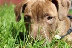 Staffordshire bull terrier puppy Royalty Free Stock Images