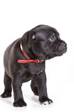 Staffordshire Bull Terrier puppy Royalty Free Stock Photo