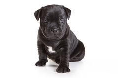 Staffordshire Bull Terrier puppy royalty free stock photos