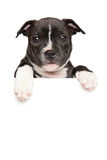 Staffordshire bull terrier puppy above banner Stock Photography