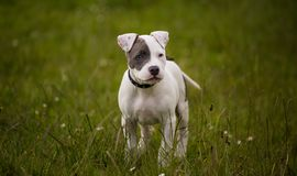 Staffordshire bull terrier puppy in colour royalty free stock photography