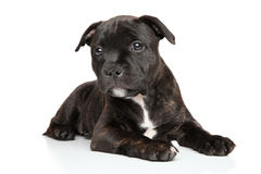Staffordshire bull terrier puppy. Lying in front of white background Royalty Free Stock Photo